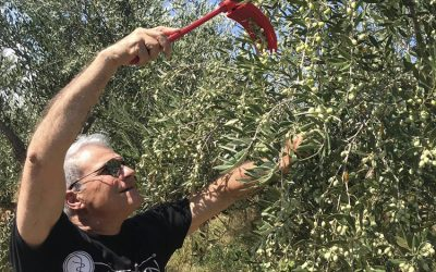 """greekliquidgold.com: """"Expectations for the Greek Olive Harvest and Local Views"""""""