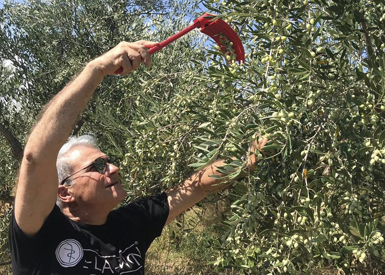 "greekliquidgold.com: ""Expectations for the Greek Olive Harvest and Local Views"""